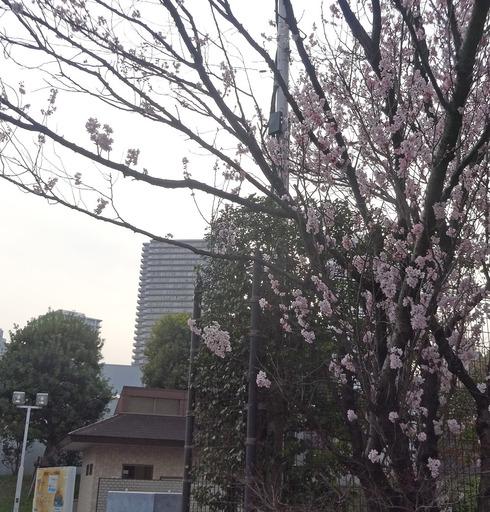 170320_sakura.jpg