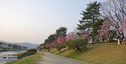 180329_sakura.jpg