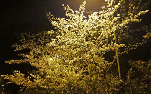 180403_sakura.jpg