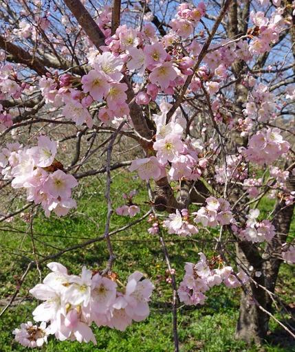 200312_sakura4.jpg
