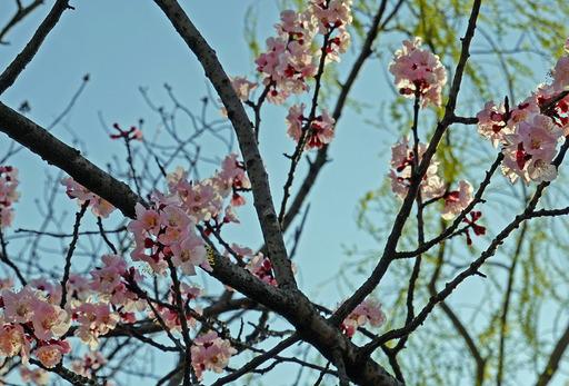200319_sakura2.jpg