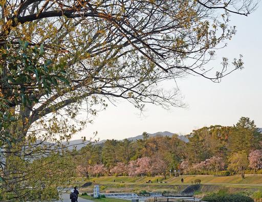 200414_yamazakura.jpg