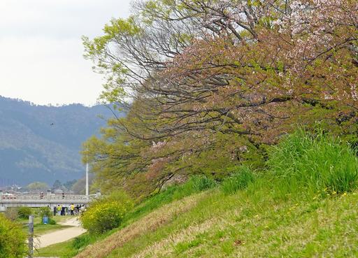 200417_hazakura.jpg
