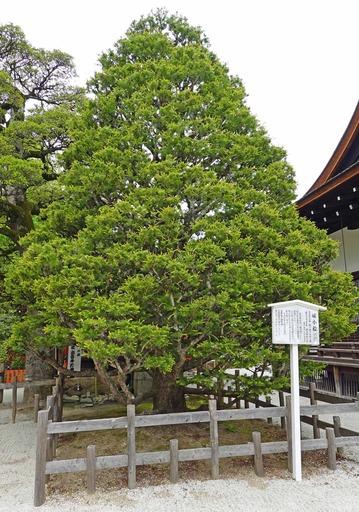 200515_himekomatsu.jpg