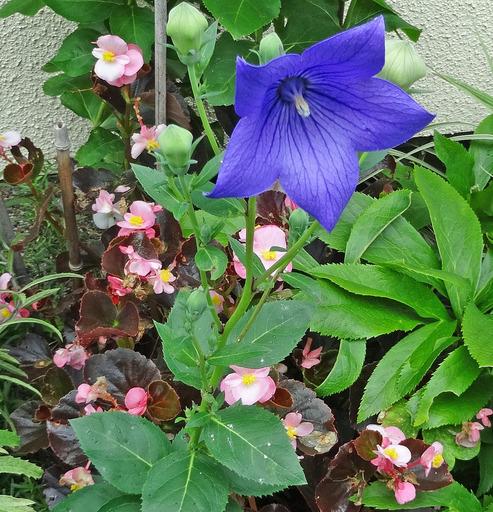 200625_kikyou.jpg