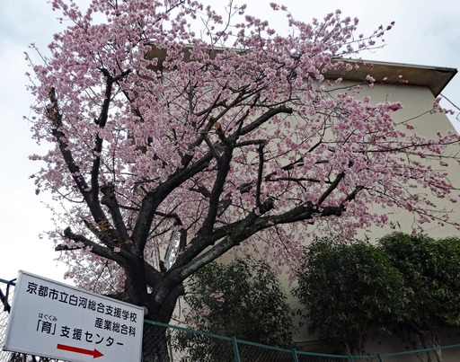 210313_sakura.jpg