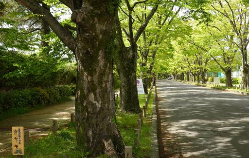 210418_keyaki.jpg